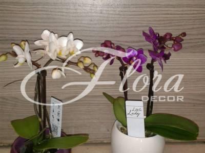 Орхидея Бебе