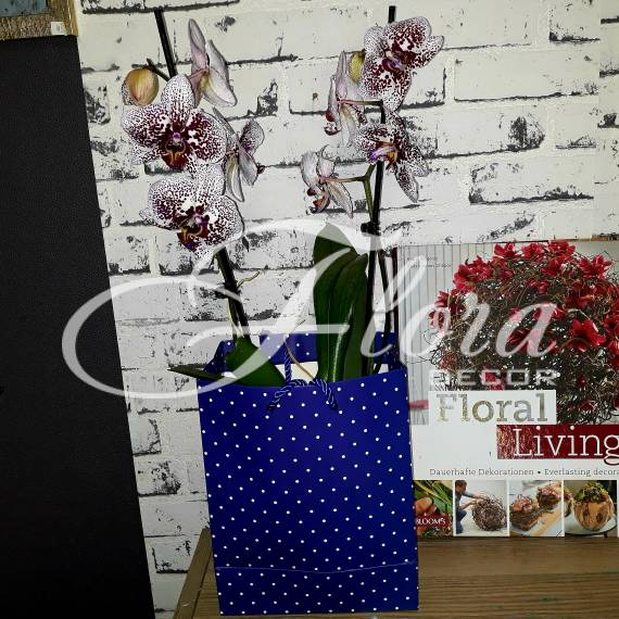 Орхидея Бордо